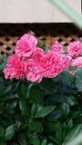 Rad-hydrangea hortensia Stock Foto