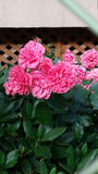 Rad hydrangea. Rad and pink hydrangea outside garden Stock Photo