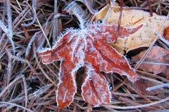 Rad Maple Leaf täckte med frost fotografering för bildbyråer