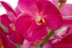 Rad-orchideeën (Vanda) Royalty-vrije Stock Afbeelding