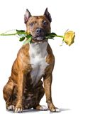 Rad striped dog with a yellow rose. American Staffordshire Terrier with a yellow rose in the mouth before white background Royalty Free Stock Images