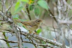 Radde's warbler Royalty Free Stock Photo