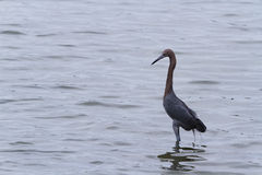 Raddish heron Royalty Free Stock Photos