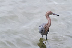 Raddish heron Stock Photo