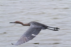 Raddish heron Stock Image
