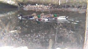 Radeau des canards barbotant en bas de la rivière banque de vidéos