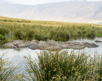 Radeau des hippopotames dans un abreuvoir Photo libre de droits