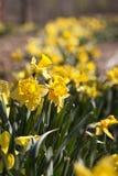 Raden av den gula påskliljan blommar på våren Fotografering för Bildbyråer