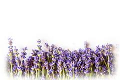 Raden av lavendel blommar på vit bakgrund med kopieringsutrymme Arkivfoto
