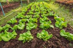 Raden av nya salladtjänstledigheter breder smör på head grönsallat i den organiska lantgården Arkivbilder