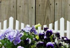 Raden av purpurfärgade blommor gränsar det vita posteringstaketet Arkivfoto