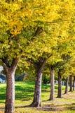Raden av träd med höst färgade sidor, San Jose, Kalifornien royaltyfria foton