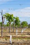 Raden av unga vinrankor växer in rör som stöttas av V-spaljé Arkivbild