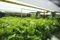 Raden för växthusgrönsakväxten växer med lett ljust inomhus lantgårdjordbruk arkivbilder