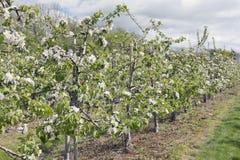 Rader av äppletrees i en fruktträdgård Arkivbild