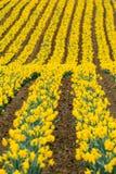 Rader av att bedöva vibrerande gula påskliljor i sydostliga Cornwall royaltyfria foton