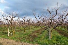 Rader av att blomma körsbärsröda träd i en fruktträdgård Arkivfoto