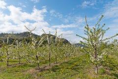 Rader av blommande äppleträd i fruktträdgård med berg och blå himmel i bakgrund royaltyfri foto