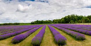 Rader av blommande lavendelväxter på Washington Island i Door County Wisconsin arkivfoton