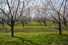 Rader av blommande mandelträd i en fruktträdgård Fotografering för Bildbyråer