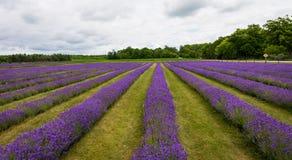 Rader av blomninglavendel blommar i Door County Wisconsin royaltyfria bilder