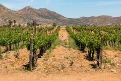 Rader av druvor som växer i Ensenada, Mexico royaltyfria bilder