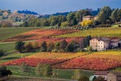 Rader av festivalen för vin för färger för vinrankalambruscohöst av druvan royaltyfria foton