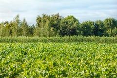 Rader av foderbeta p? f?ltet Sk?rd och lantbruk fotografering för bildbyråer