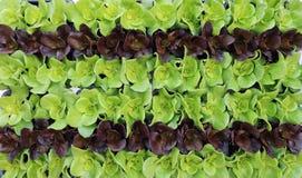 Rader av grön och röd grönsallat ordnade geometriskt Matbakgrund och textur royaltyfri bild
