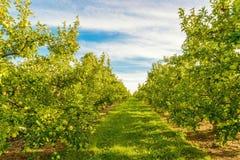 Rader av gröna äppleträd Arkivbild