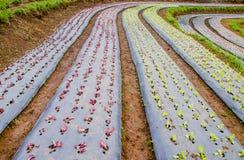 Rader av grönsallatväxter Fotografering för Bildbyråer