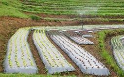 Rader av grönsallatväxter Royaltyfri Bild
