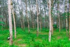 Rader av gummiträd under morgonmist som är östliga av Thailand Arkivfoto