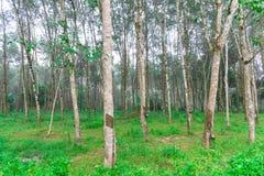 Rader av gummiträd under morgonmist som är östliga av Thailand royaltyfria foton