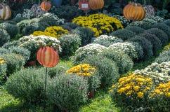 Rader av härliga krysantemum på en utomhus- marknad royaltyfri foto