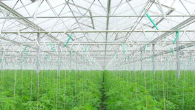 Rader av hydroponic växter för tomat lager videofilmer
