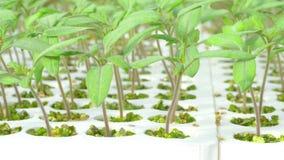 Rader av hydroponic växter för tomat stock video