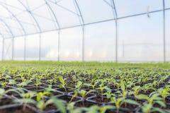 Rader av inlagda plantor i växthus Royaltyfria Foton