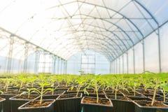 Rader av inlagda plantor i växthus Royaltyfria Bilder