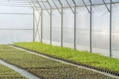 Rader av inlagda plantor i växthus Fotografering för Bildbyråer