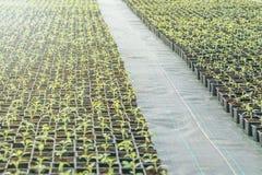 Rader av inlagda plantor i växthus Royaltyfri Fotografi
