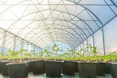 Rader av inlagda plantor i växthus Royaltyfri Bild