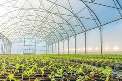 Rader av inlagda plantor i växthus Royaltyfri Foto