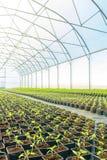 Rader av inlagda plantor i växthus Arkivbild