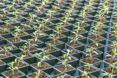 Rader av inlagda plantor i växthus Arkivfoton