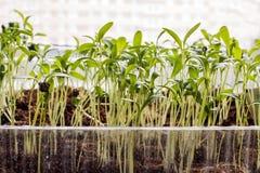 Rader av inlagda plantor och unga växter Royaltyfria Foton