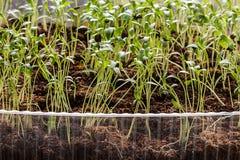 Rader av inlagda plantor och unga växter Royaltyfria Bilder