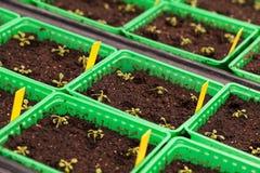 Rader av inlagda plantor och unga växter i växthus Arkivfoton