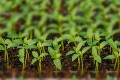 Rader av inlagda plantor och unga v?xter arkivbild