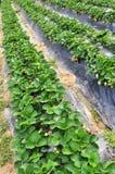 rader av jordgubbeväxter Arkivbild
